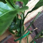 Don's Expert Answers: Cannot stop damage to potted Lemons.. what's happening?