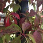 Don's Expert Answers: Parthenocissus quinquefolia languishing
