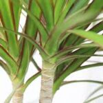 Don's Expert Answers: Dracaena marginata (?) plants. I put them in years ago and have cut them back many times. They are now getting rather large and I would like to get rid of them. I have tried cutting them back to the stump and spraying new growth with Glyphosate. But regardless of my efforts, very robust shoots keep appearing. Their roots below ground level are very large and impossible to dig out. Any suggestions?