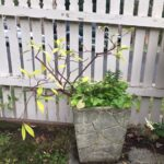 Don's Expert Answers: Leggy with yellow leaves and no winter buds