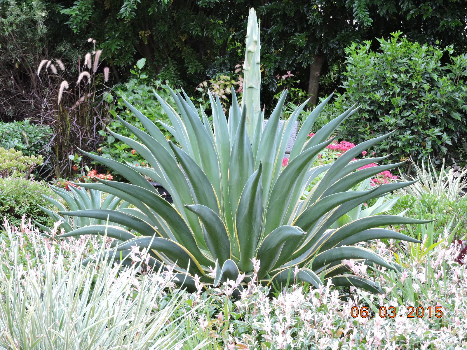 Agave flower burke 39 s backyard for Garden plants